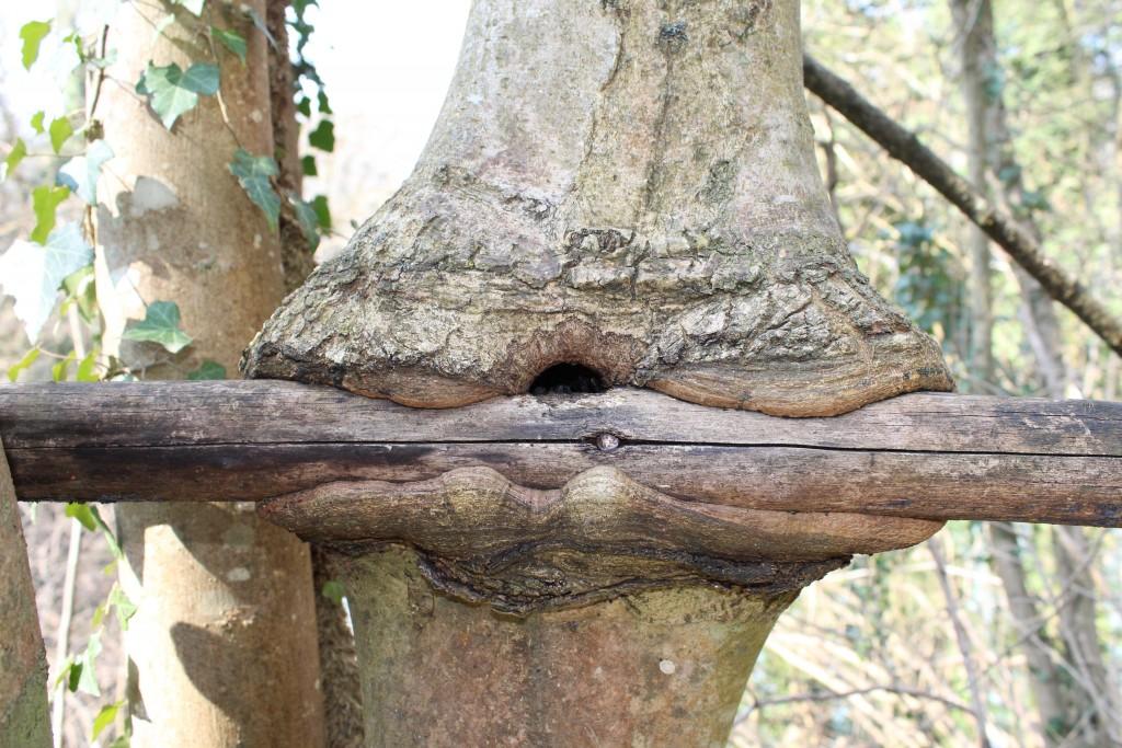 Un arbre décide de s'unir à une lisse de bois