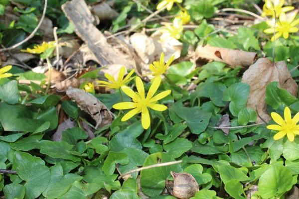Fleurs jaune 8 pétales