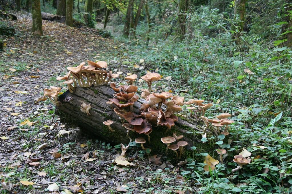 Pousse de champignons sur billots...