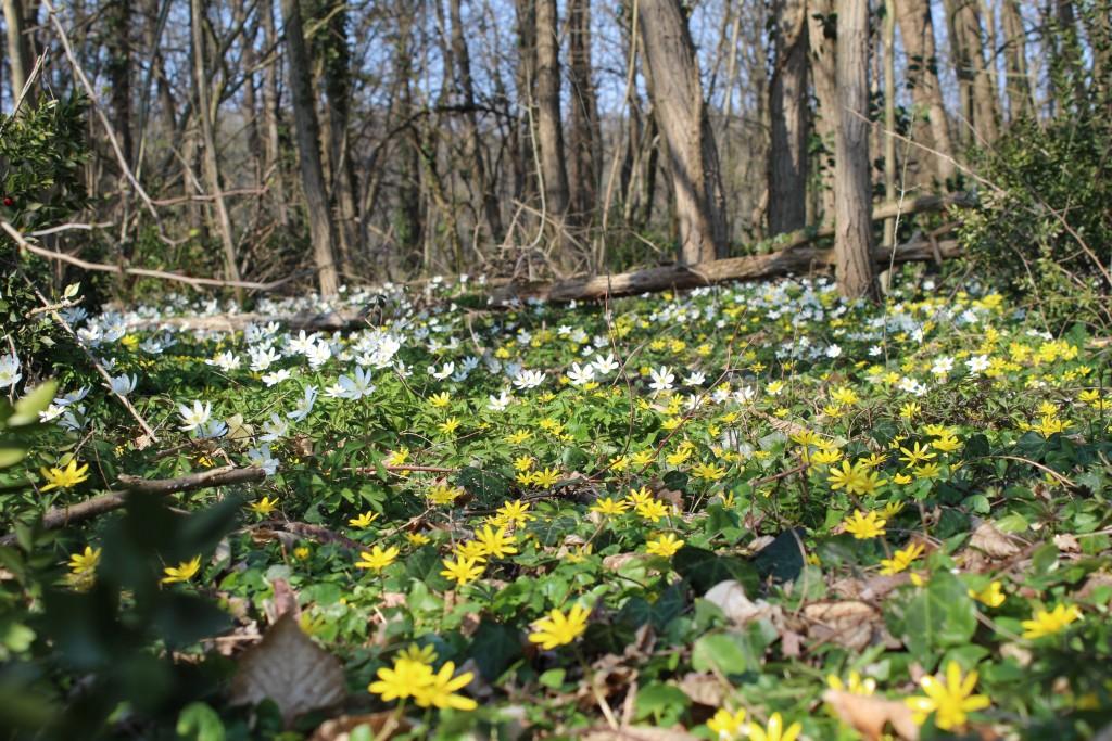 Fleurs dans la forêt de Claix